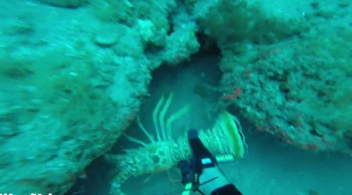 Diver Catching Lobster