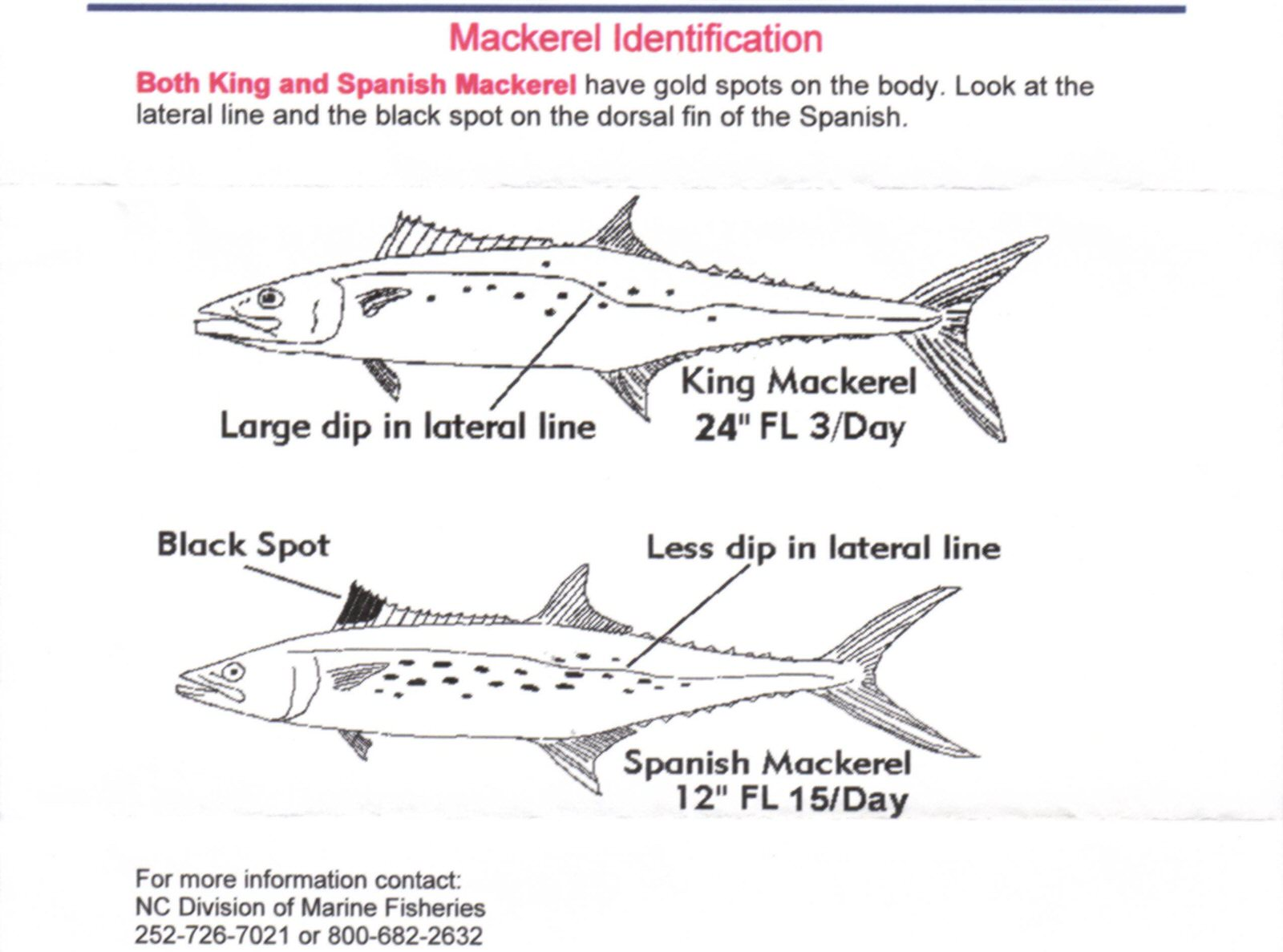 mackerel are considered oily fish and some people consider them strong  flavored  spanish mackerel are one of the lighter flavored fish in the  mackerel