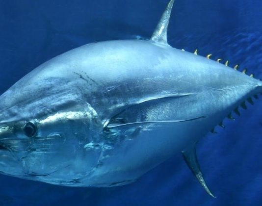 Atlantic Bluefin Tuna General Category Fishery to Reopen for Two Days