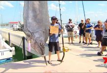 1431 lb Black Marlin