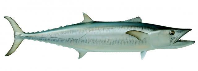 King Mackerel - Scomberomorus Cavalla